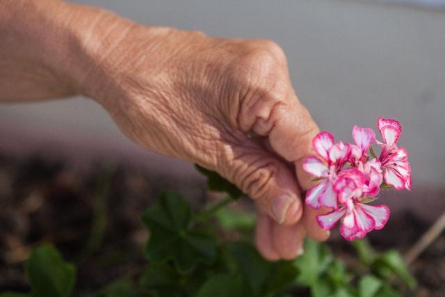 花を摘むお年寄りの手